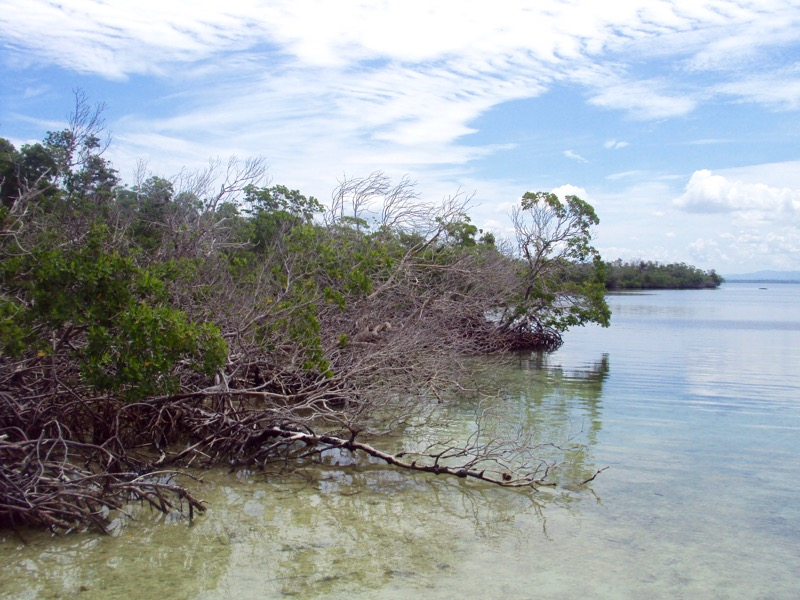 mangrove insula Cayo Levisa