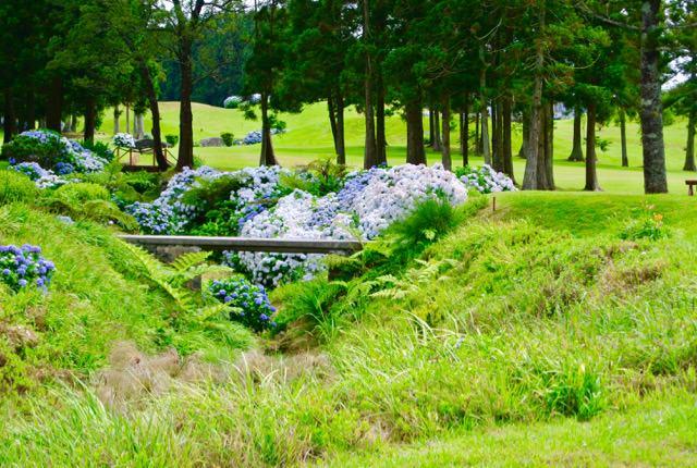 Golf si Hortensii