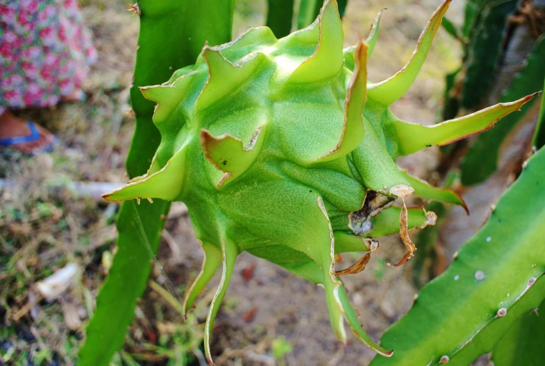 Pitaya fructul dragonului 2