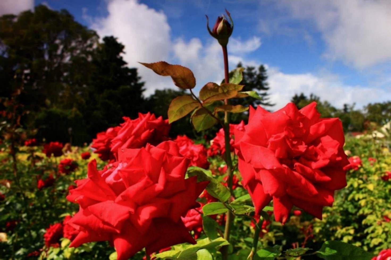 Trandafiri Foto Adela Balcic