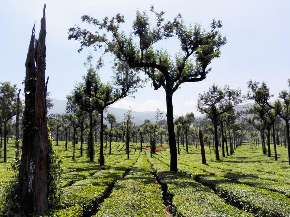 plantatie de ceai Munnar