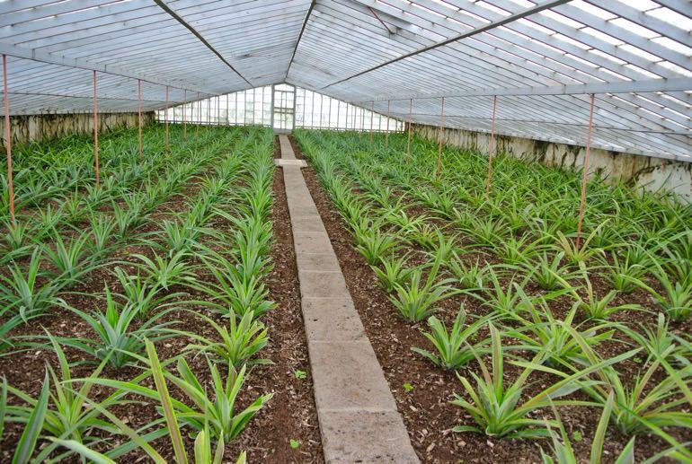 Fabrica ananas insula Sao Miguel Azore 1