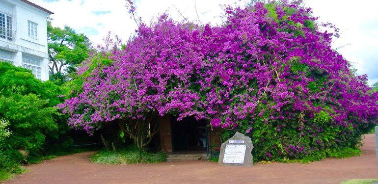 Ananas insulele Azore Sao Miguel vizita 5