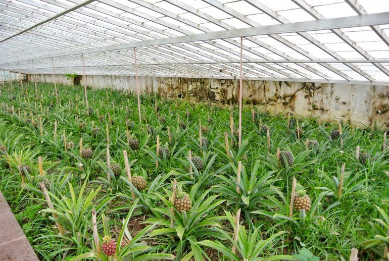 Fabrica Ananas insula Sao Miguel din Azore