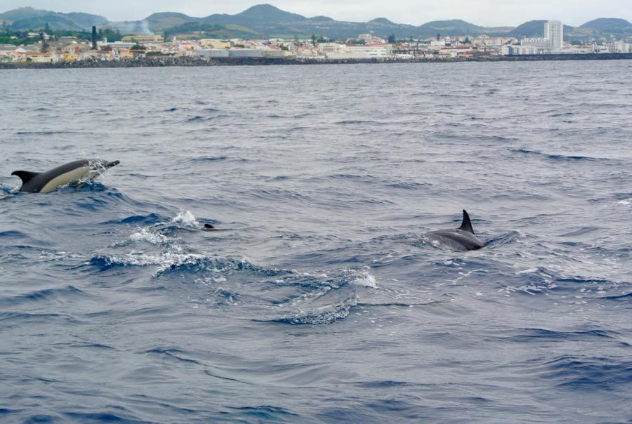 Croaziera balene delfini insula Sao Miguel