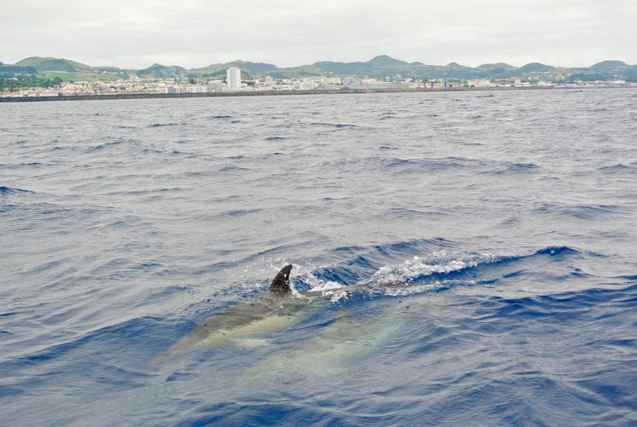 Croaziera balene delfini insula Sao Miguel 2