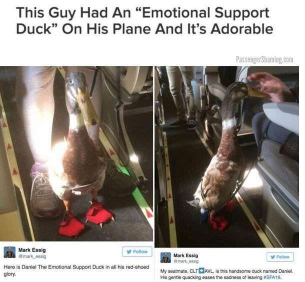 Animale de serviciu: nu stiam, dar in US de exemplu, oamenii pot sa zboare impreuna cu un animal special antrenat, care sa ii ajute sa depaseasca teama de avion. Deci omul acela a avut nevoie de o rata pentru ca sa zboare. Se pare ca functioneaza!