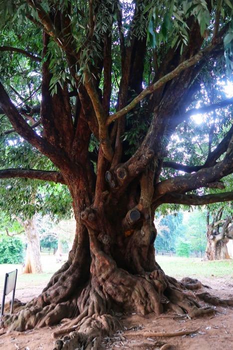 Grădina BotanicăPeradeniya Kandy 10