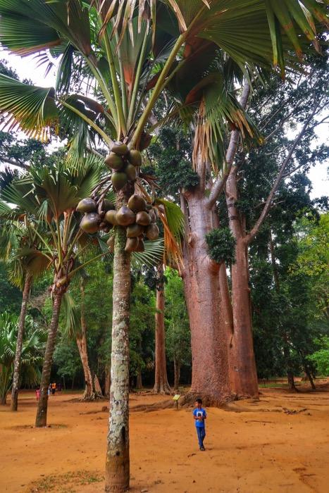 Grădina BotanicăPeradeniya Kandy 4
