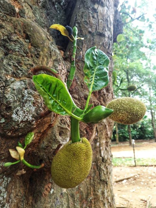 Grădina BotanicăPeradeniya Kandy 1