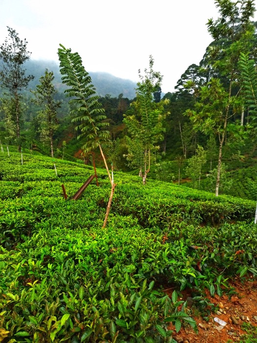 Pantatii ceai Sri Lanka 3